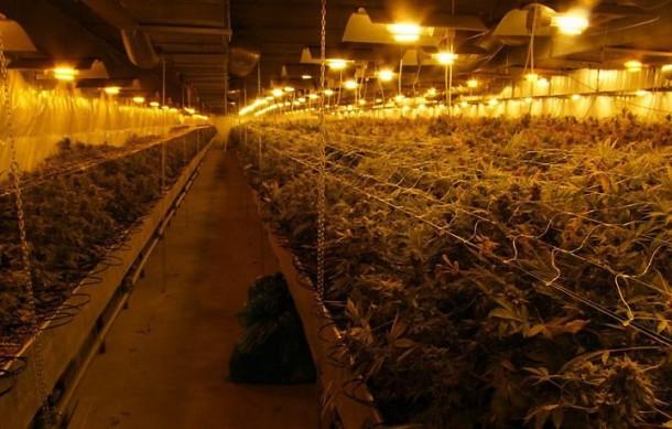 cannabis-polonia