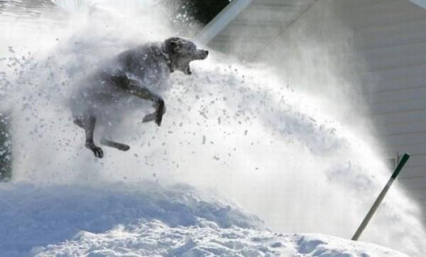 cão-neve